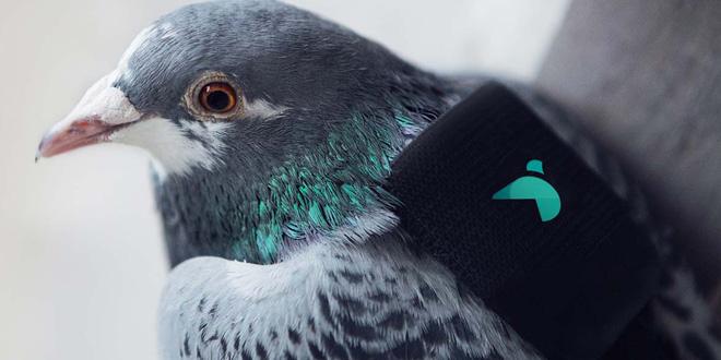 白鴿變身特派專員 專門監測空氣質素
