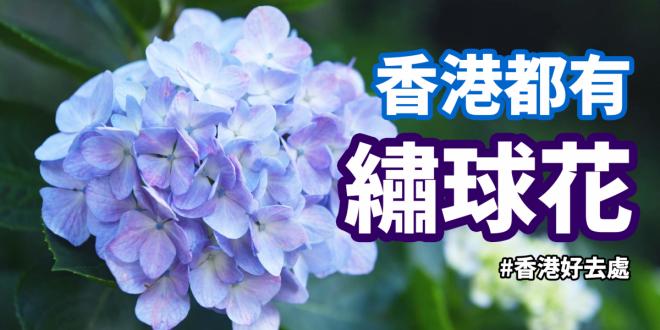 不用飛去日本或韓國! 香港都有繡球花
